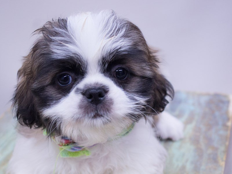 Shih Tzu-Male-Gold and White-2416746-Petland Wichita, KS