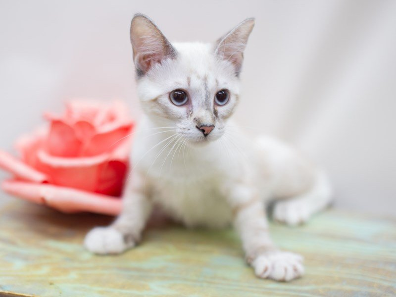 Siamese  Snowshoe-CAT-Female-Torti Lynx Point-2429106-Petland Wichita, KS