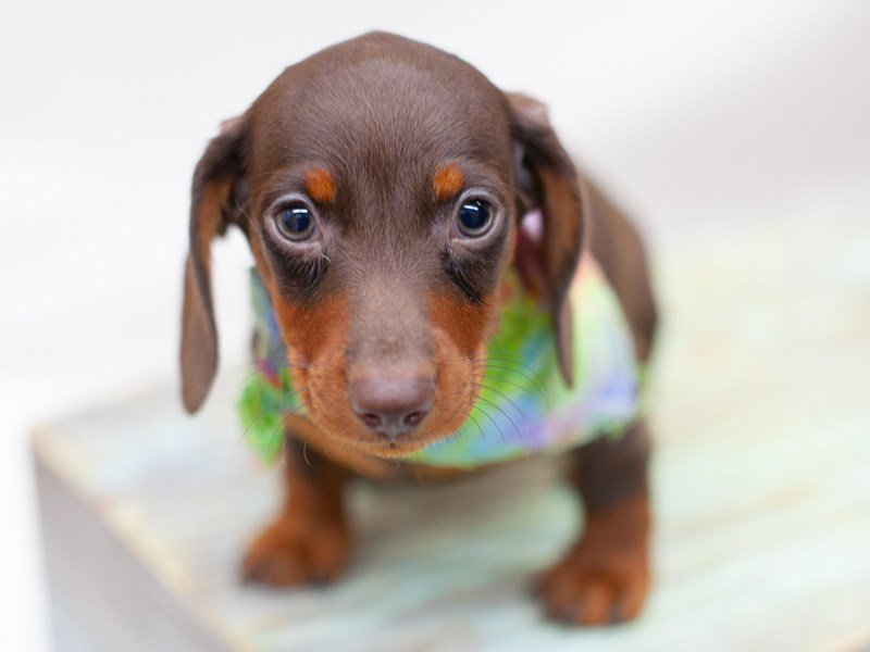 Miniature Dachshund-DOG-Male-Chocolate & Tan-2435762-Petland Wichita, KS