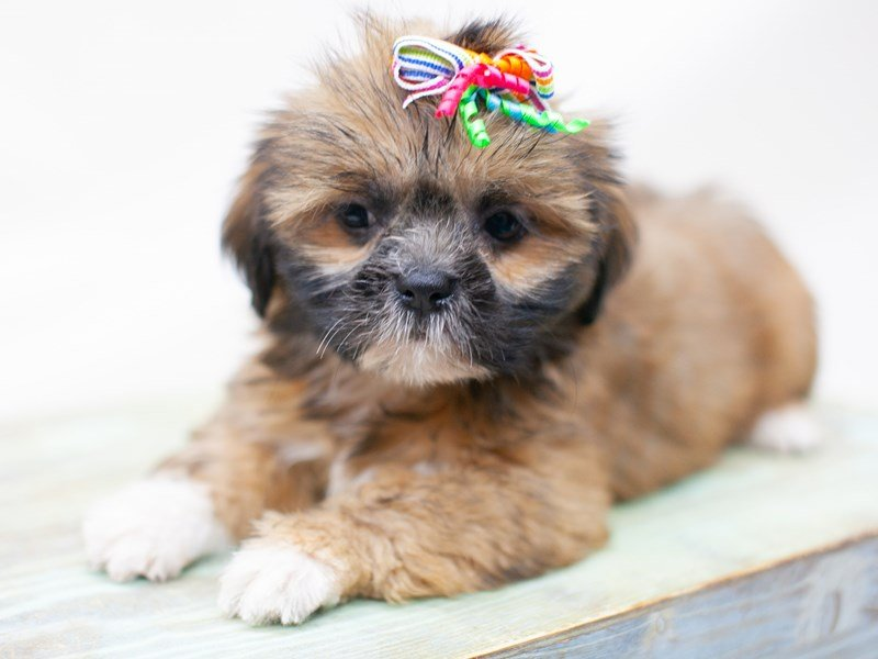 Lhasa Apso-Female-Gold Black Mask-2435746-Petland Wichita, KS