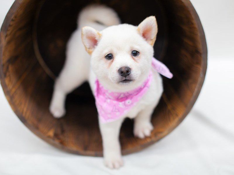 Shiba Inu-Female-White-2435732-Petland Wichita, KS