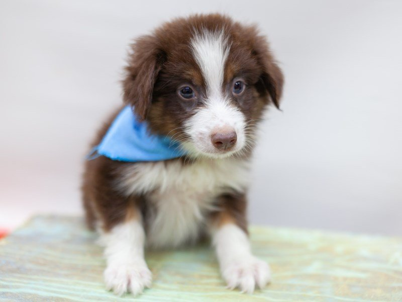 Miniature Australian Shepherd-DOG-Male-Red Tri-2435584-Petland Wichita, KS