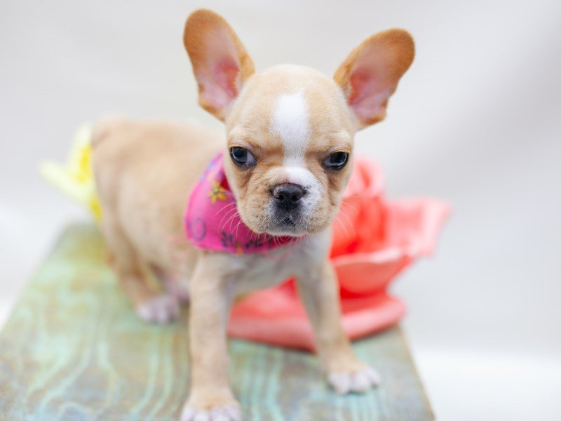 French Bulldog-Female-Cream-2435538-Petland Wichita, KS