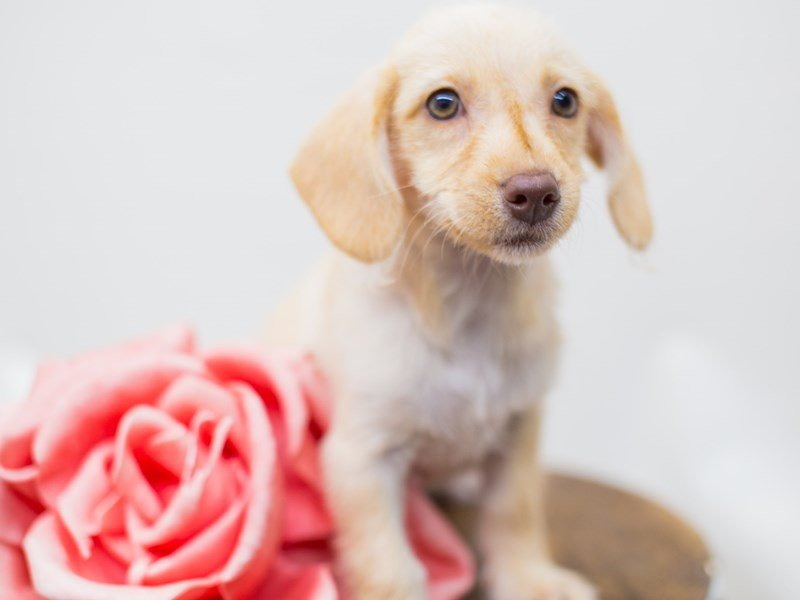 BeagleDoodle-DOG-Female-Golden-2441284-Petland Wichita, KS