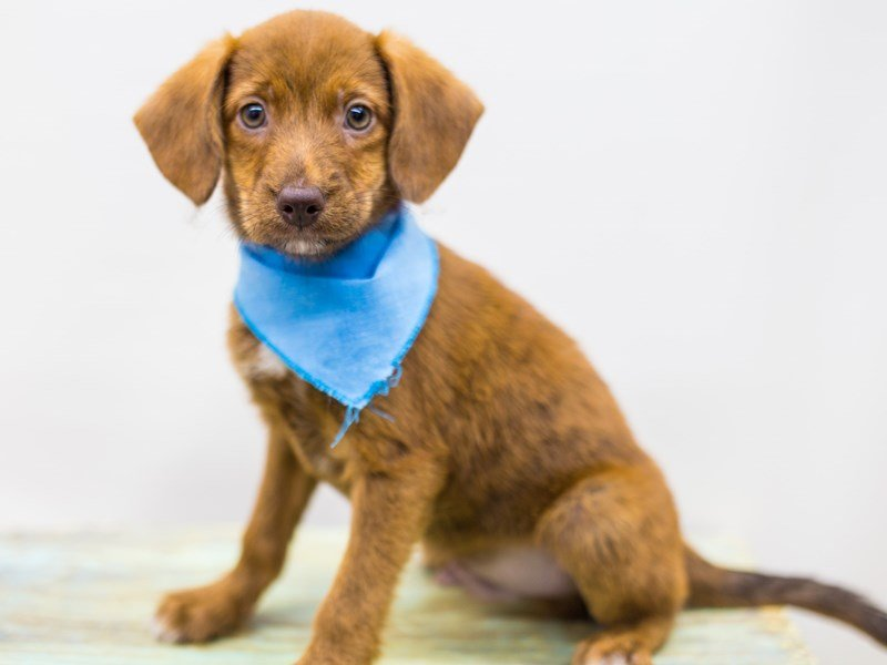 BeagleDoodle-Male-Red-2441280-Petland Wichita, KS