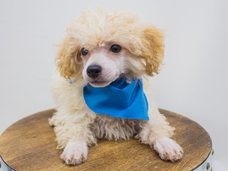 Miniature Poodle-Male-Apricot-2447251-Petland Wichita, KS