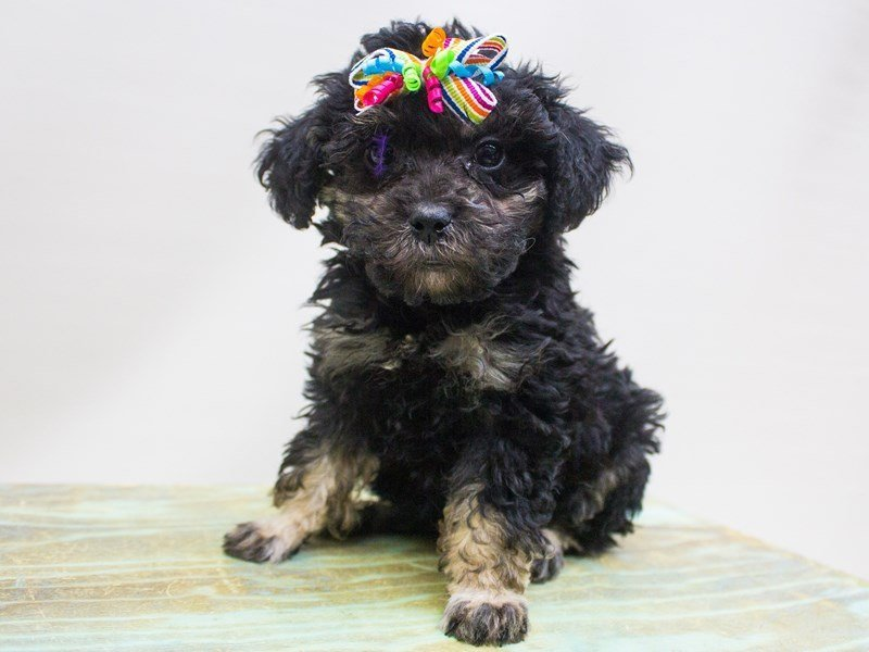 Toy Poodle-DOG-Female-Phantom-2447213-Petland Wichita, KS