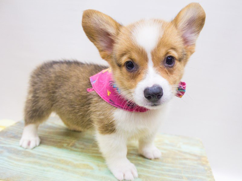 Pembroke Welsh Corgi-DOG-Female-Red & White-2447080-Petland Wichita, KS