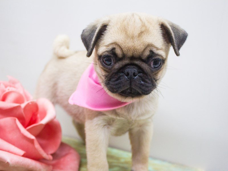 Pug-DOG-Female-Fawn-2447053-Petland Wichita, KS