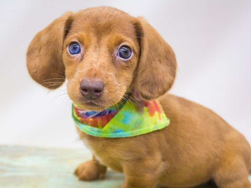Miniature Dachshund-Male-Red Dapple-2446949-Petland Wichita, KS