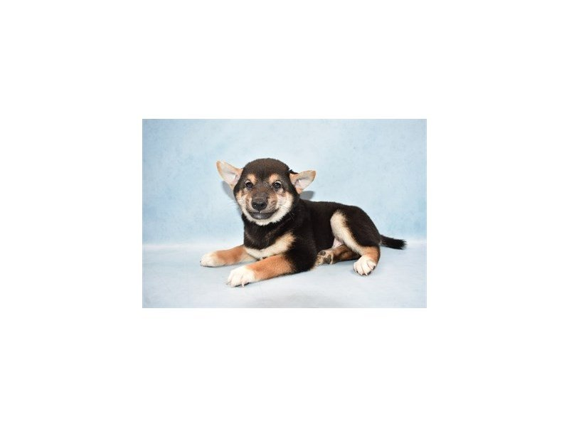 Shiba Inu-DOG-Male-Black and Tan-2452195-Petland Wichita, KS