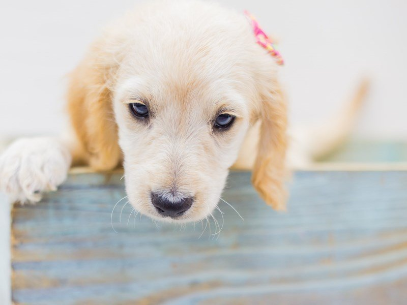 Miniature Goldendoodle-Female-Golden-2453156-Petland Wichita, KS