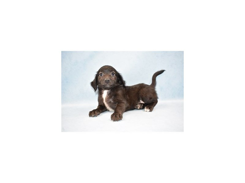 Doxie-Poo-Male-Black-2458800-Petland Wichita, KS