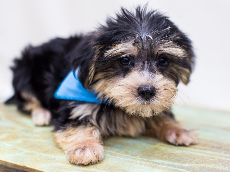 Morkie-DOG-Male-Black and Tan-2459748-Petland Wichita, KS