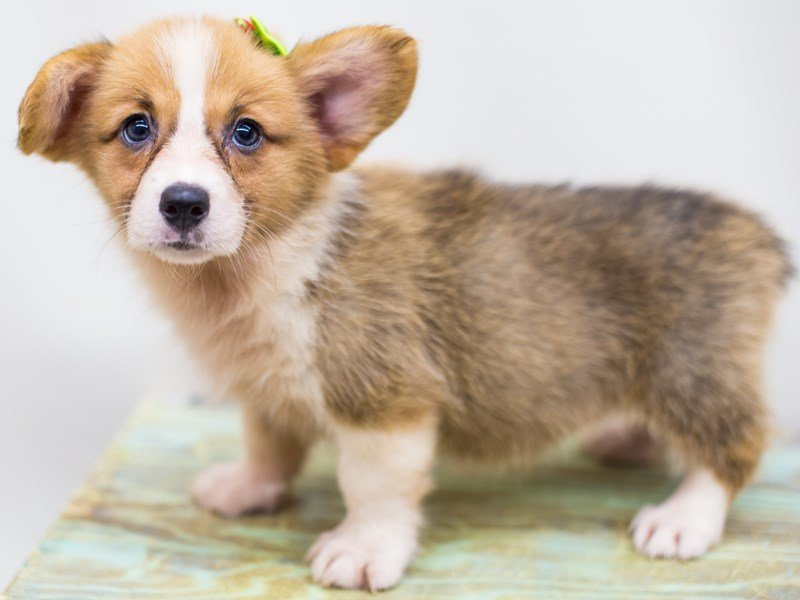 Pembroke Welsh Corgi-Female-Sable and White-2459738-Petland Wichita, KS