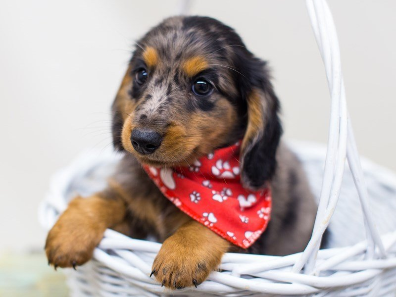 Miniature Dachshund-DOG-Male-Silver Piebald Dapple-2459736-Petland Wichita, KS