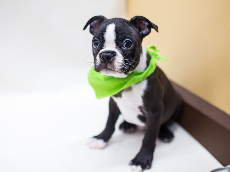 Boston Terrier-Male-Black & White-2445059-Petland Wichita, KS