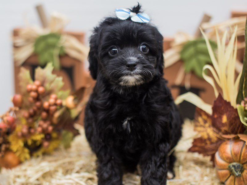 Cockapoo-DOG-Female-Black-2465523-Petland Wichita, KS