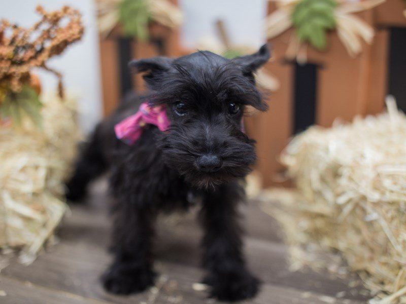 Miniature Schnauzer-DOG-Female-Black-2464990-Petland Wichita, KS