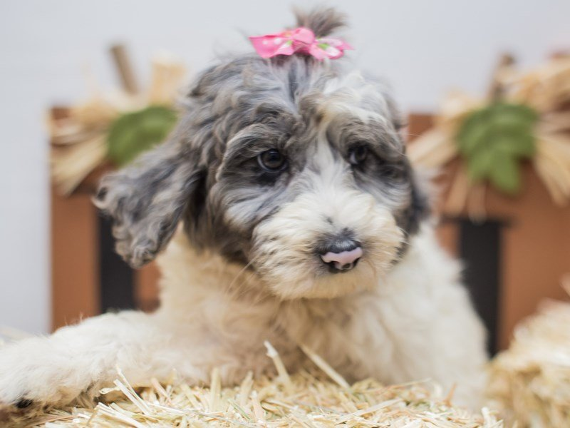 Aussiedoodle-Female-Blue Merle-2464499-Petland Wichita, KS