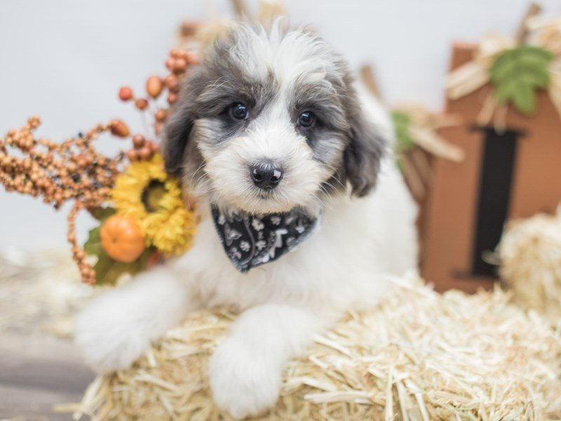 Aussiedoodle-DOG-Male-Blue Merle-2464498-Petland Wichita, KS