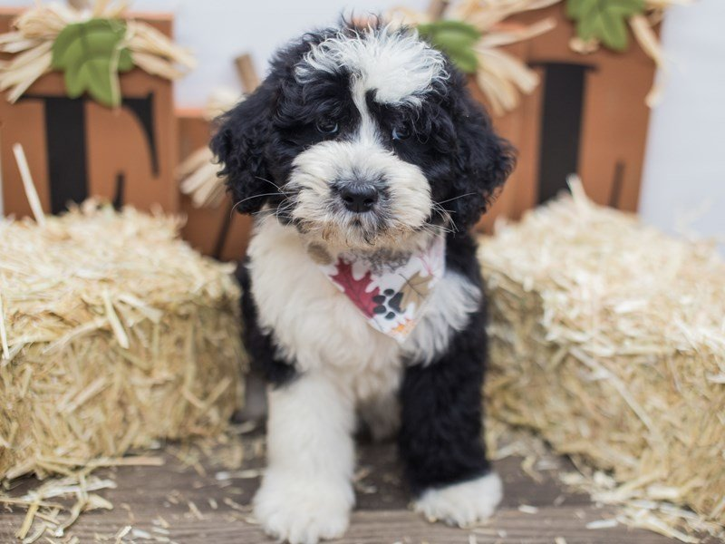 Aussiedoodle-Male-Black & White-2464483-Petland Wichita, KS