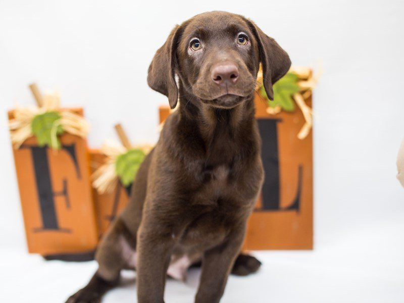 Labrador Retriever-Male-Chocolate-2476925-Petland Wichita, KS
