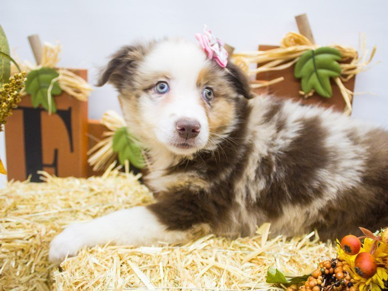 Miniature Australian Shepherd-DOG-Female-Red Merle-2499068-Petland Wichita, KS