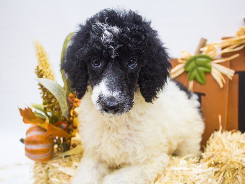 Standard Poodle-Female-Black and White Parti-2499023-Petland Wichita, KS