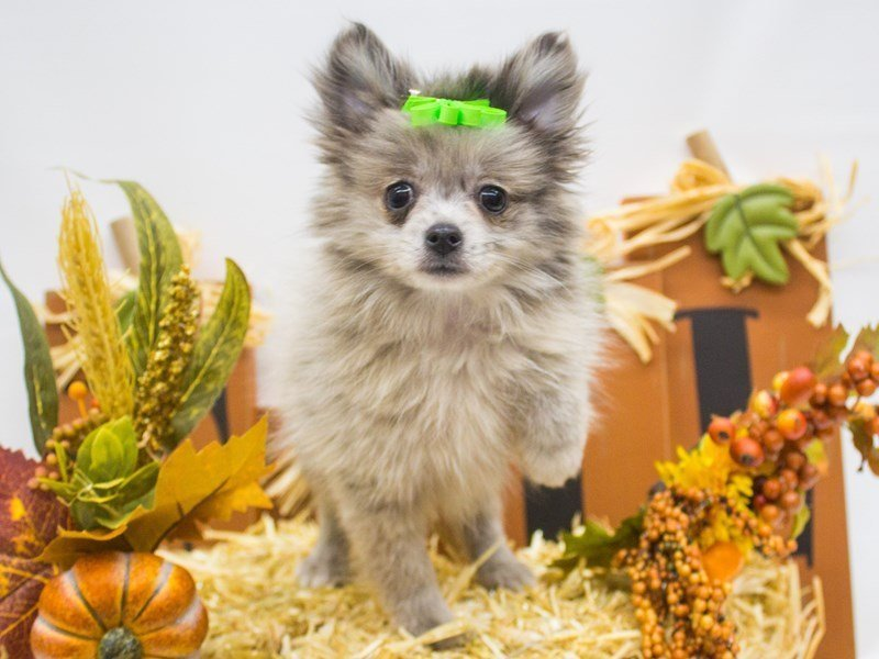 Pomeranian-Female-Blue Merle-2498975-Petland Wichita, KS