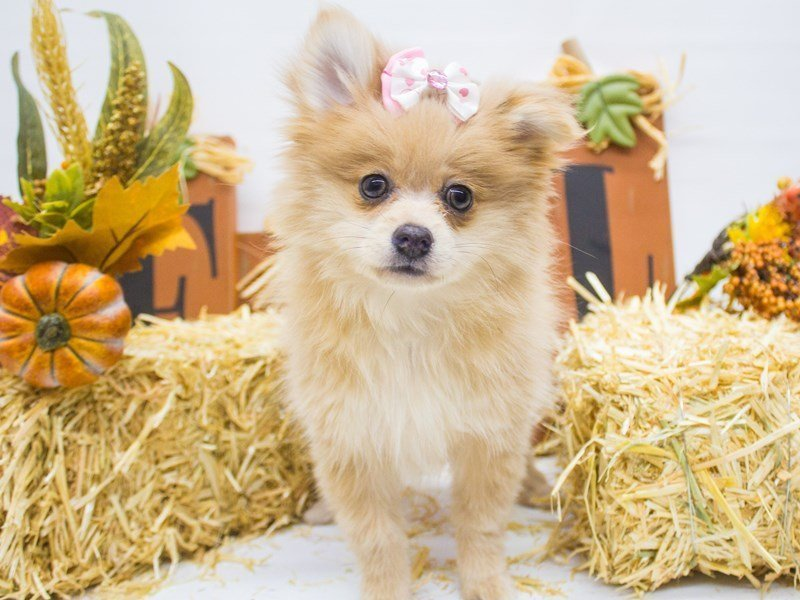 Pomeranian-Female-Champagne-2498973-Petland Wichita, KS