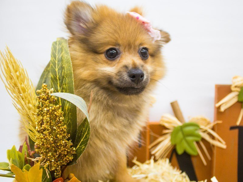 Pomeranian-Female-Red Sable-2498966-Petland Wichita, KS