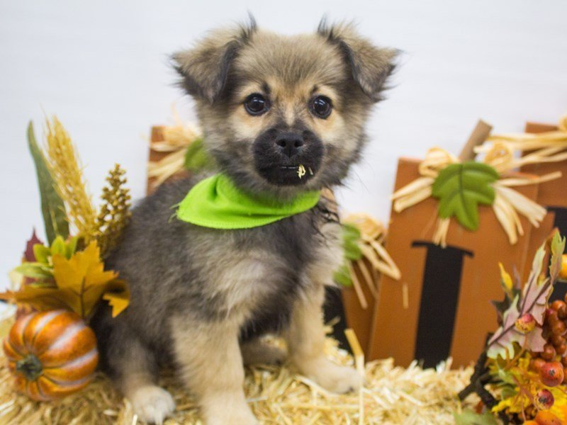 Peke Pom-DOG-Male-Fawn w/ Black Mask-2498940-Petland Wichita, KS