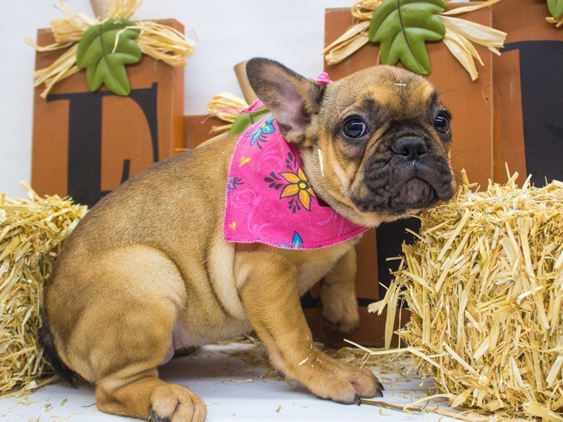 French Bulldog-DOG-Female-Red Sable-2498863-Petland Wichita, KS