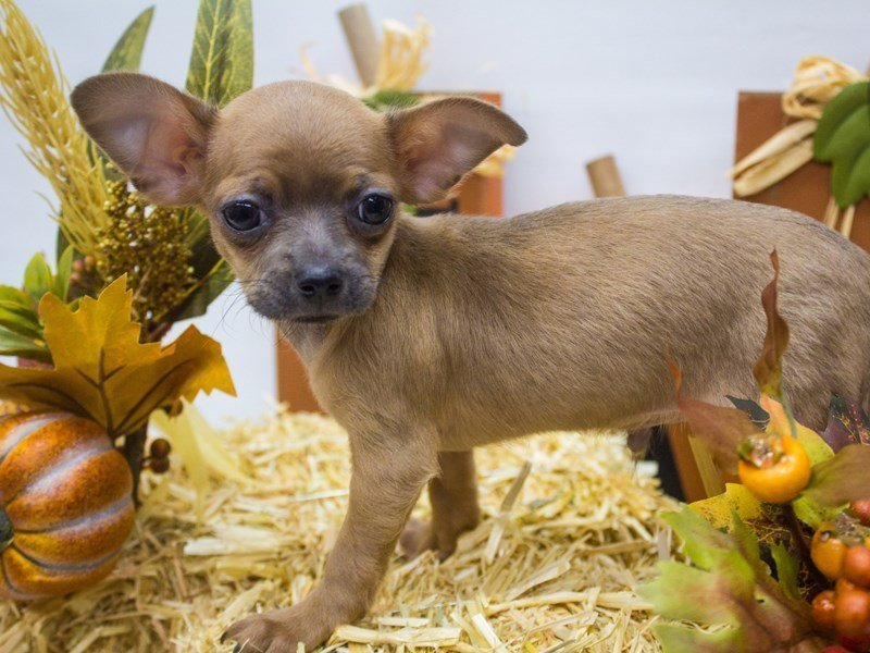 Chihuahua-DOG-Male-Blue Fawn-2498787-Petland Wichita, KS
