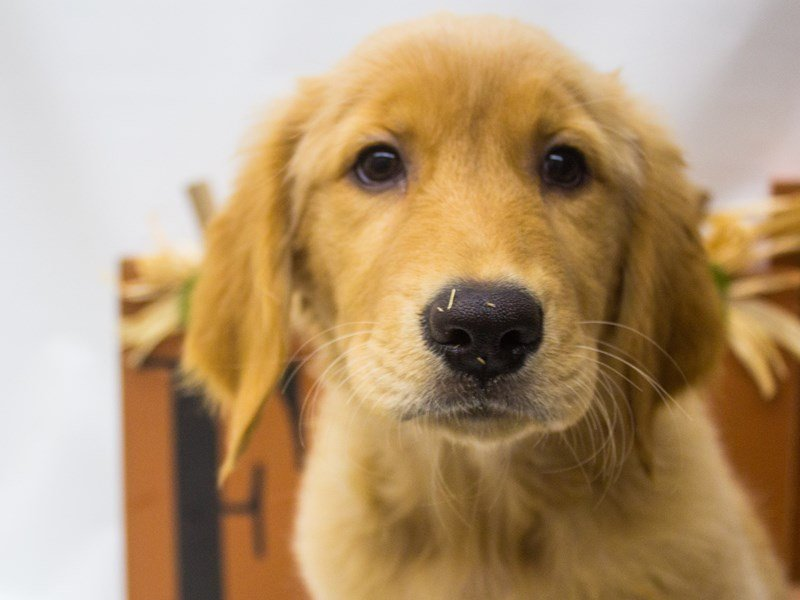 Golden Retriever-Female--2471603-Petland Wichita, KS