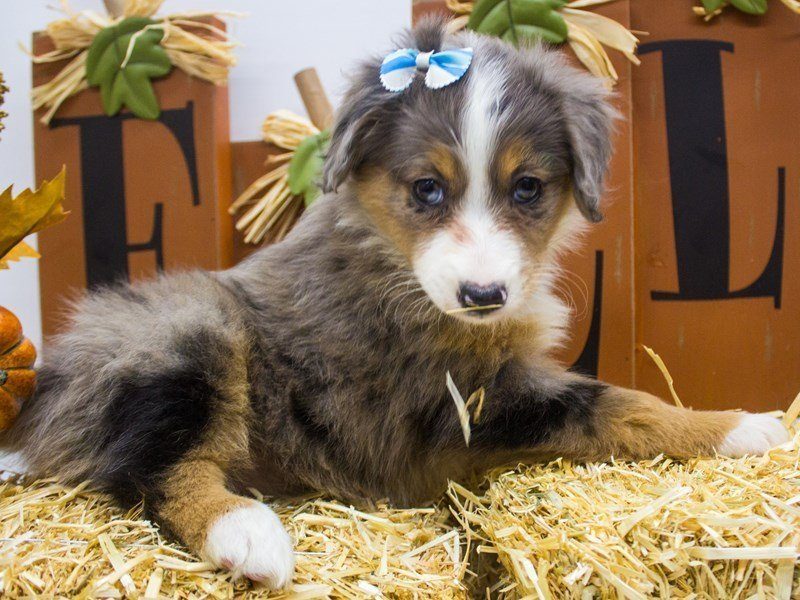 Miniature Australian Shepherd-DOG-Female-Blue Merle-2505166-Petland Wichita, KS