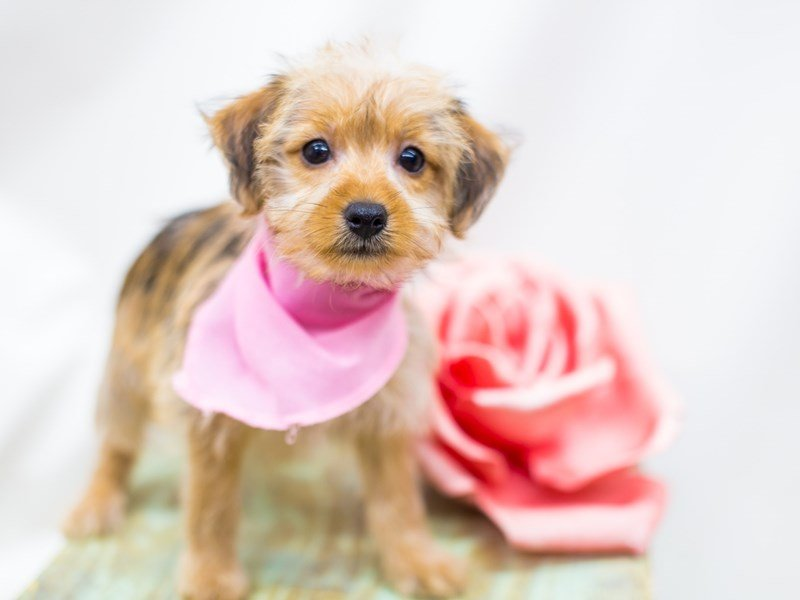 Yorkie Poo-Female-Sable-2441300-Petland Wichita, KS