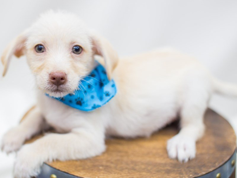 BeagleDoodle-Male-Blonde-2441282-Petland Wichita, KS
