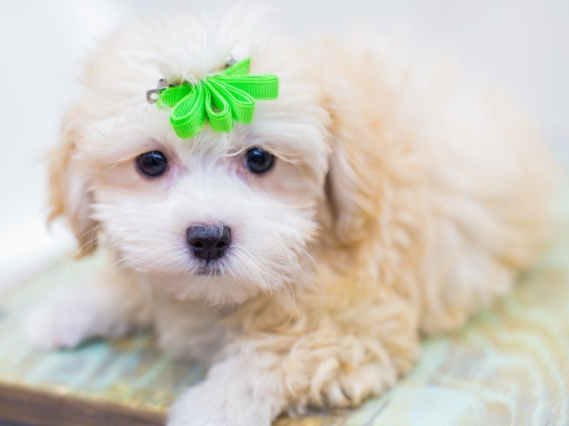 Toy MaltiPoo-Female-Cream-2441302-Petland Wichita, KS