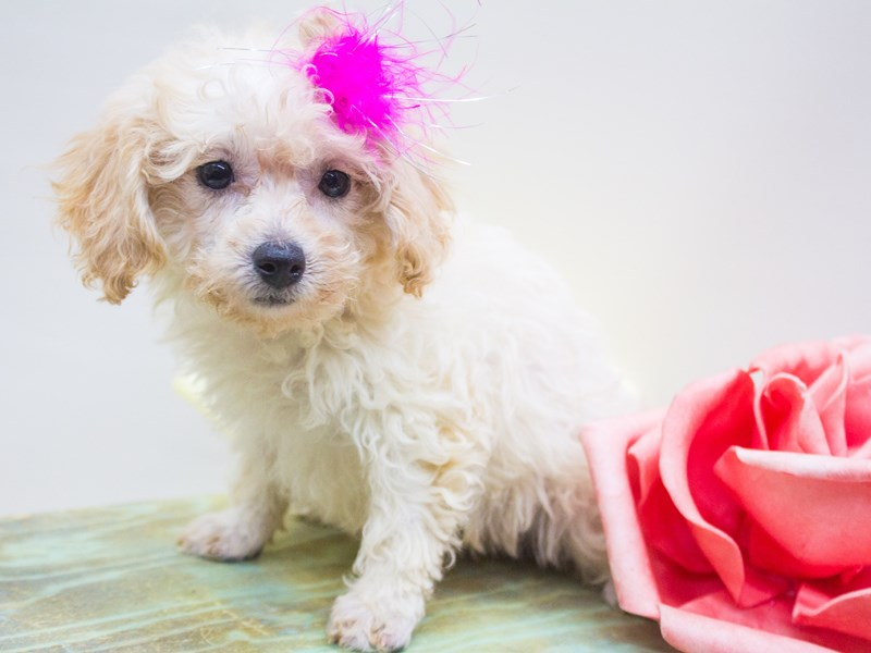 Bichon Poo-DOG-Female-Apricot-2447228-Petland Wichita, KS