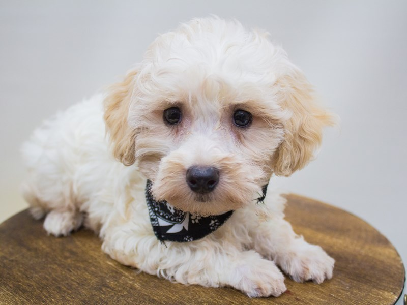Havapoo-DOG-Male-Apricot & White-2447216-Petland Wichita, KS