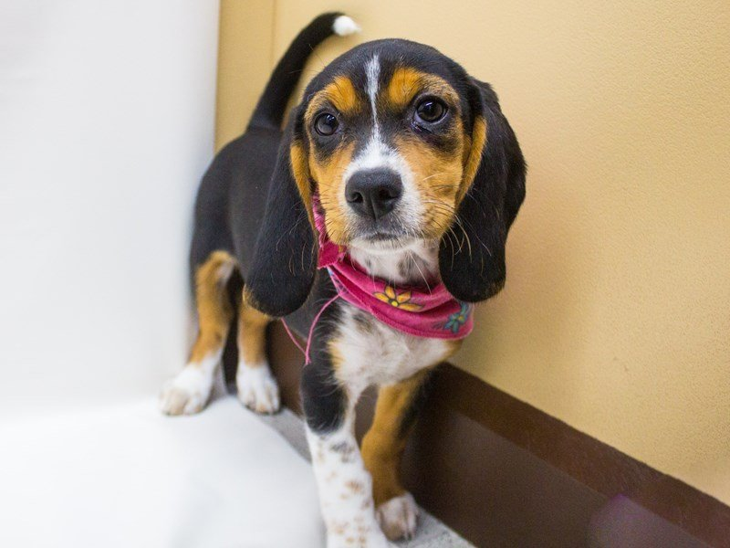 Beagle-Female-Tri-2446981-Petland Wichita, KS