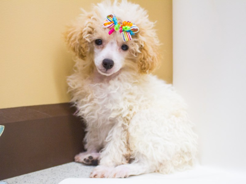 Miniature Poodle-Female-Apricot Parti-2447253-Petland Wichita, KS