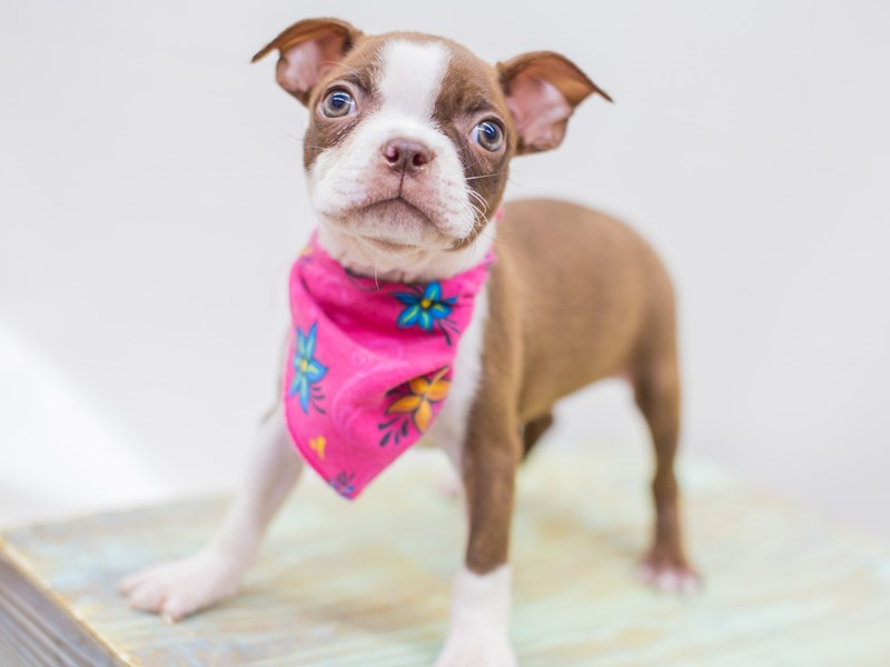 Boston Terrier-DOG-Female-Red and White-2453202-Petland Wichita, KS