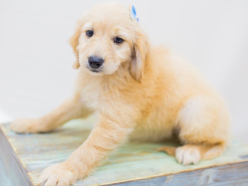Miniature Goldendoodle-DOG-Female-Golden-2453170-Petland Wichita, KS