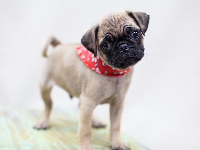 Pug-Male-Fawn-2445062-Petland Wichita, KS
