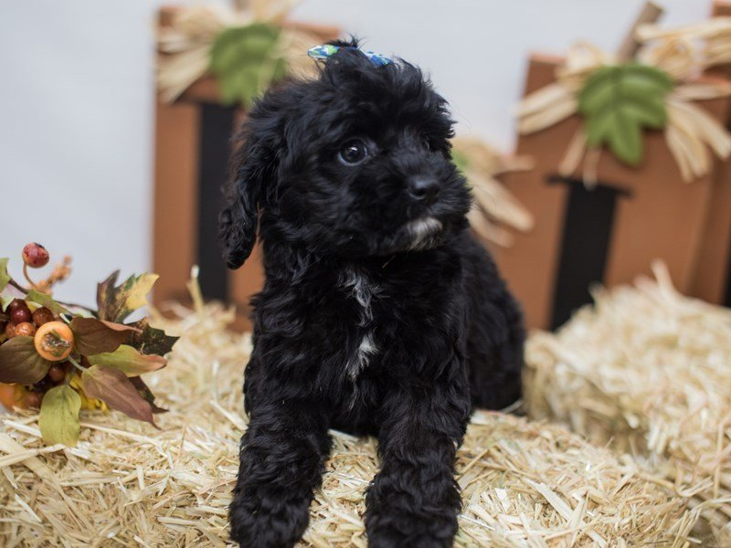 Cockapoo-Female-Black-2465567-Petland Wichita, KS