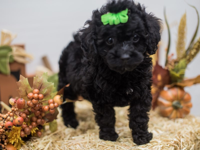 Cockapoo-DOG-Female-Black-2465566-Petland Wichita, KS
