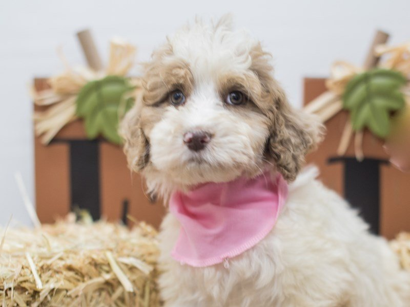 Aussiedoodle-Female-Red and White-2464501-Petland Wichita, KS